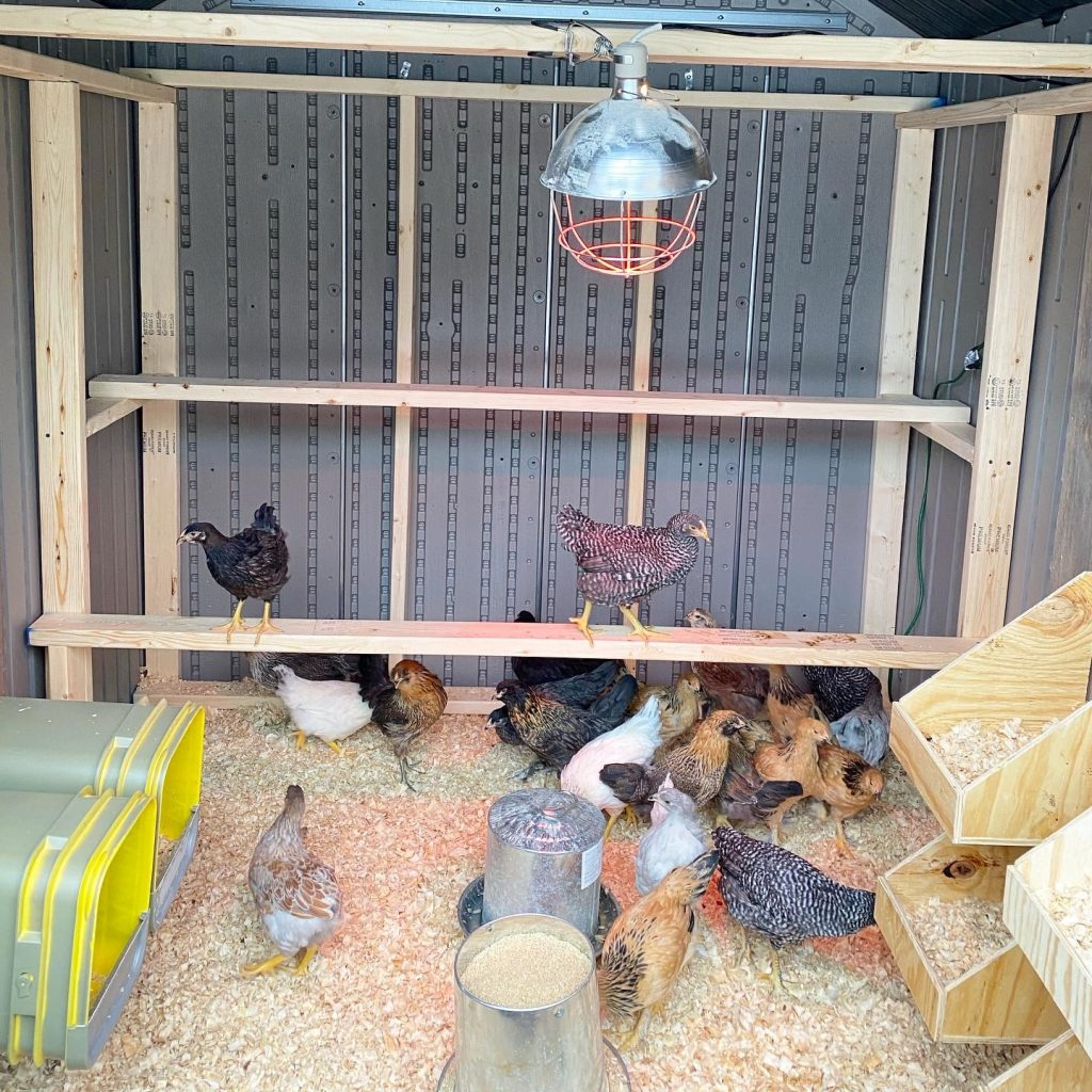 Chickens in their DIY chicken coop built from resin shed